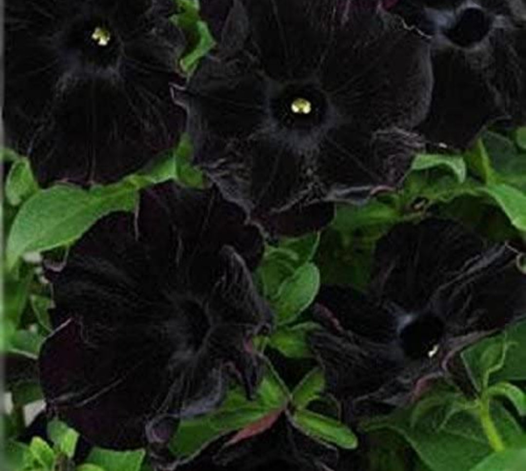 Petunia Pegasus Patio Back to Black - 10.5cm Pot