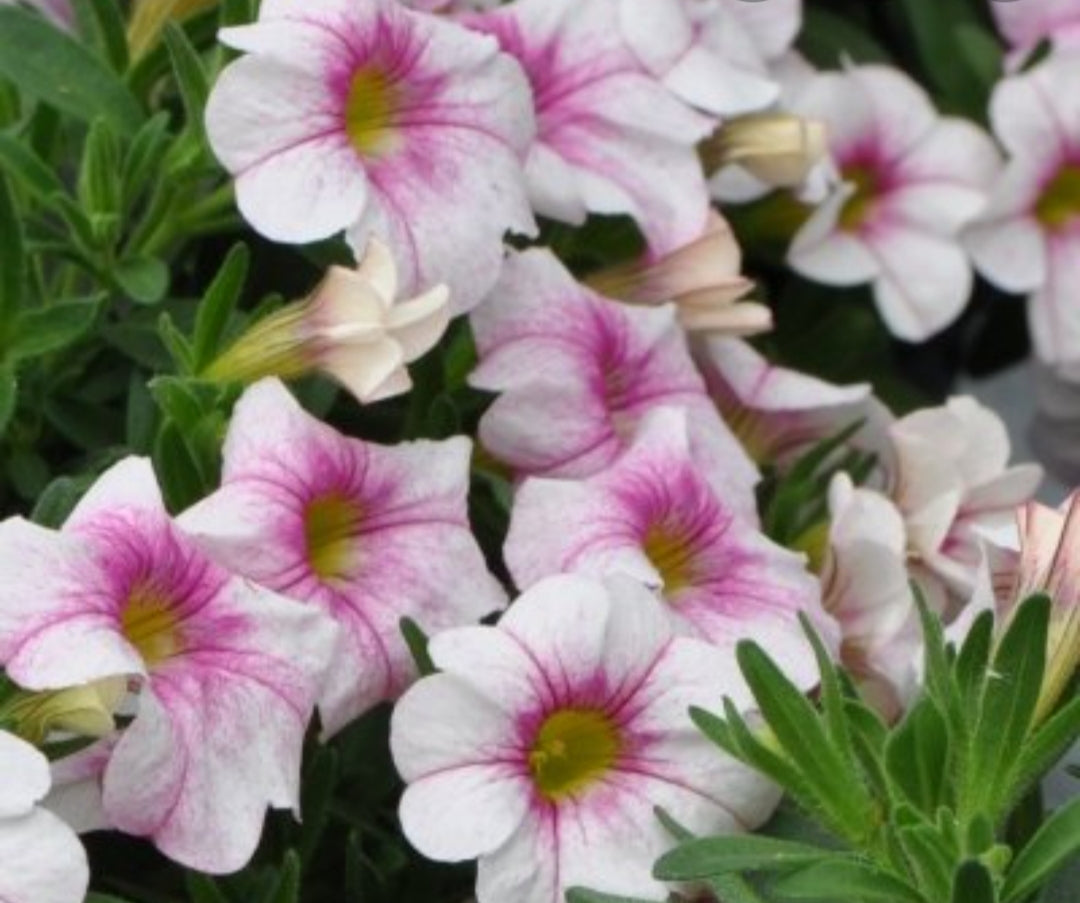 Calibrachoa (Million Bells) Calipetite Pink Vein - 10.5cm Pot