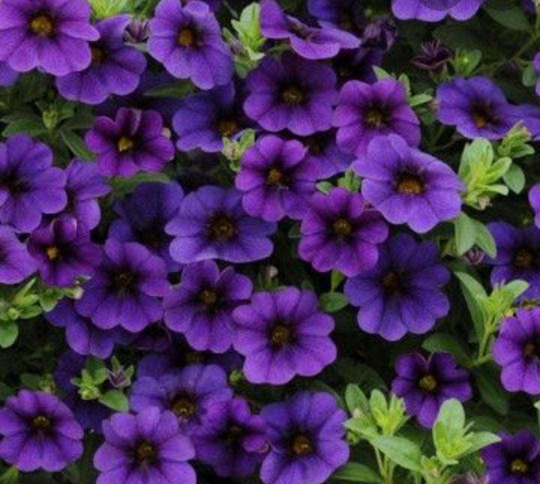 Calibrachoa (Million Bells) Calita Dark Blue - 10.5cm Pot