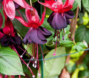 Fuchsia Lady in Black (Climbing + Hardy Habit) - 10.5cm Pot
