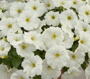 Surfinia Snow - 10.5cm Pot