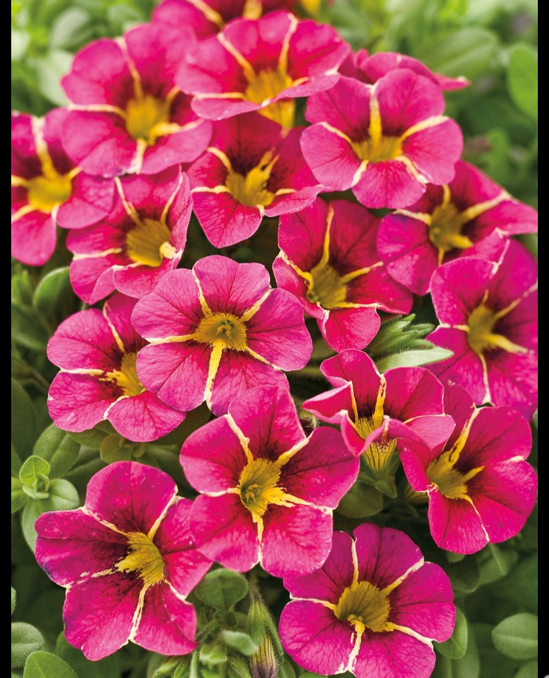 Calibrachoa (Million Bells) Calita Special Cherry Star - 10.5cm Pot