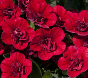 Calibrachoa (Million Bells) Calita Double Red - 10.5cm Pot