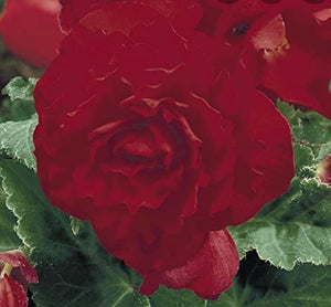 Begonia Nonstop F1 Red (Bush Habit) - 10.5cm Pot