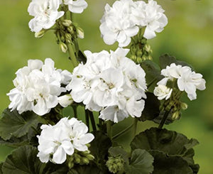 Pelargonium Grandeur Pure White (Upright Habit) - 10.5cm Pot