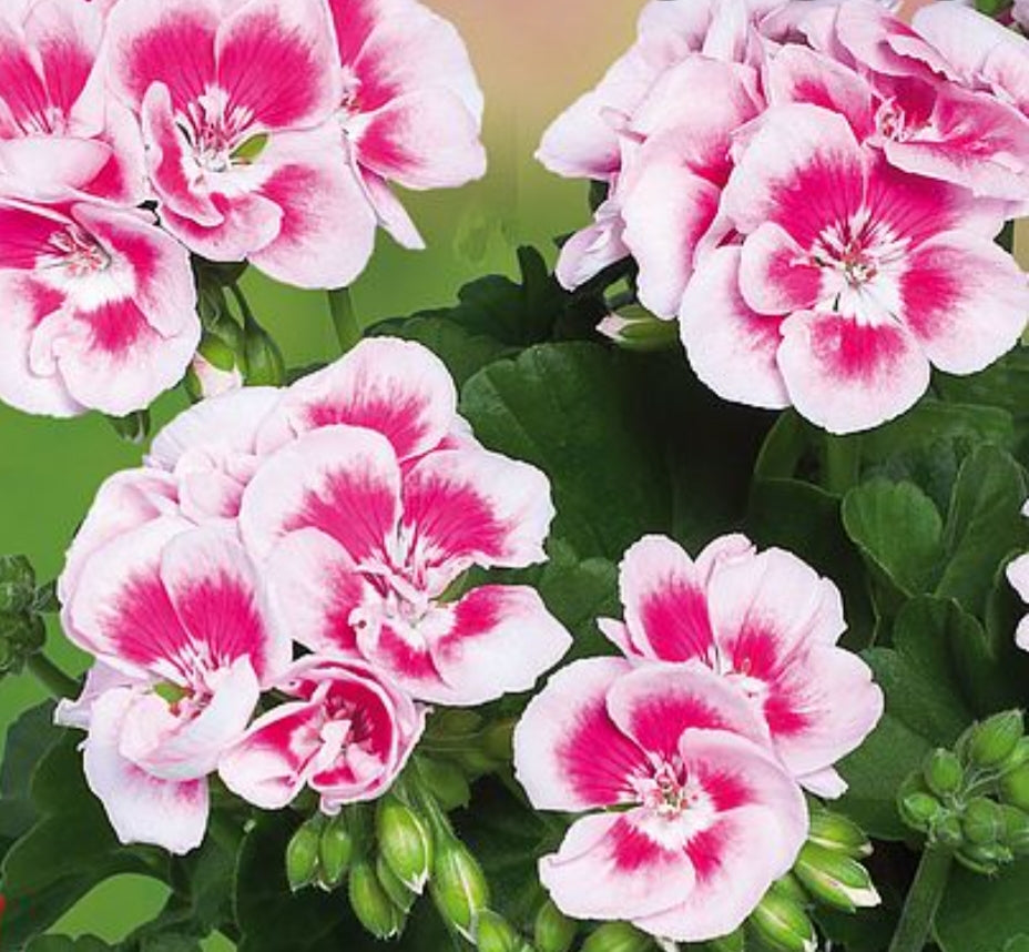 Pelargonium Grandeur Classic White Splash (Upright Habit) - 10.5cm Pot