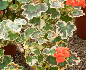 Pelargonium Grandeur Deco Mrs Pollock (Clump Forming Habit) - 10.5cm Pot