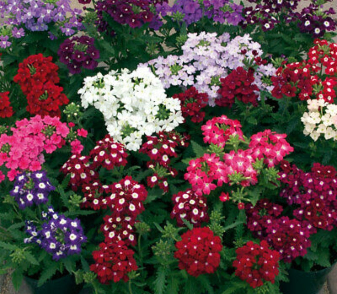 Verbena x hybrida Verino Mix - 20 Pack