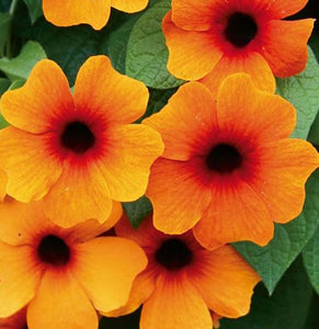 Thunbergia (Black-Eyed Susie) Sunny Susy Red-Orange - 1 Litre Pot