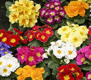 Primrose mixed colours - Just 50p each.