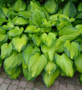 Hosta Guacamole (Size - Large) - 2 Litre Pot