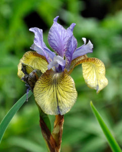 Iris sibirica Peacock Butterfly Tipped in Blue - 2 Litre Pot