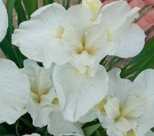 Iris sibirica Swans in Flight - 2 Litre Pot