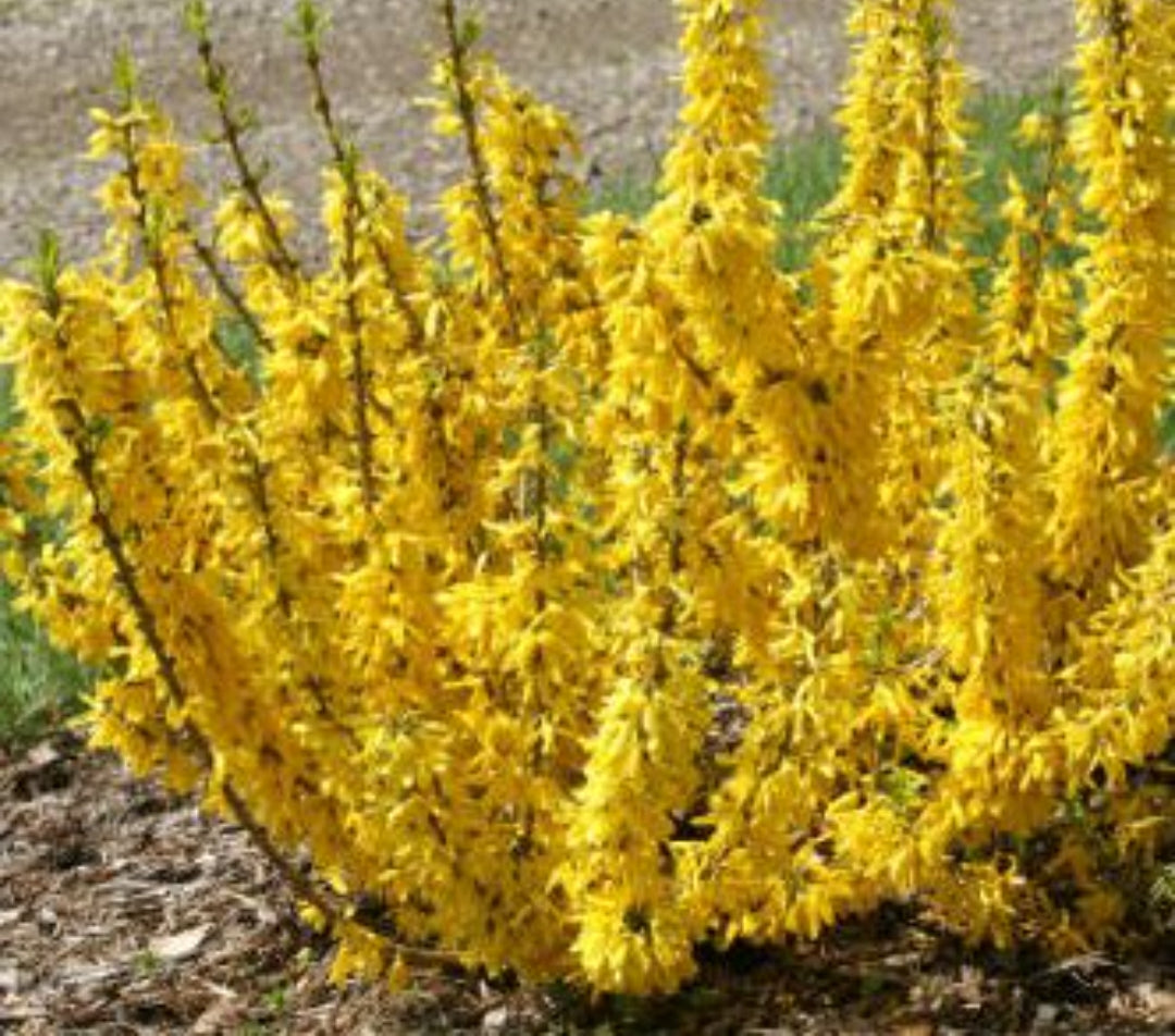 Forsythia x intermedia Flojor (Mini Gold) - 7.5 Litre Pot