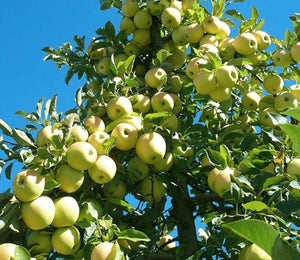 Apple Golden Delicious Tree - 10 Litre Pot
