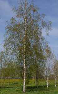 Silver Birch Tree - Betula Pendula - 10 Litre Pot