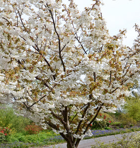 Flowering Cherry Tree - Prunus Fragrant Cloud - 10 Litre Pot