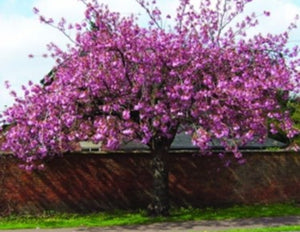Flowering Cherry Tree - Prunus Kanzan - 10 Litre Pot