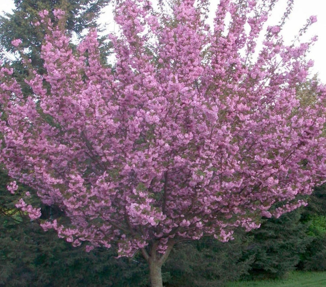 Flowering Cherry Tree - Prunus Royal Burgundy - 10 Litre Pot