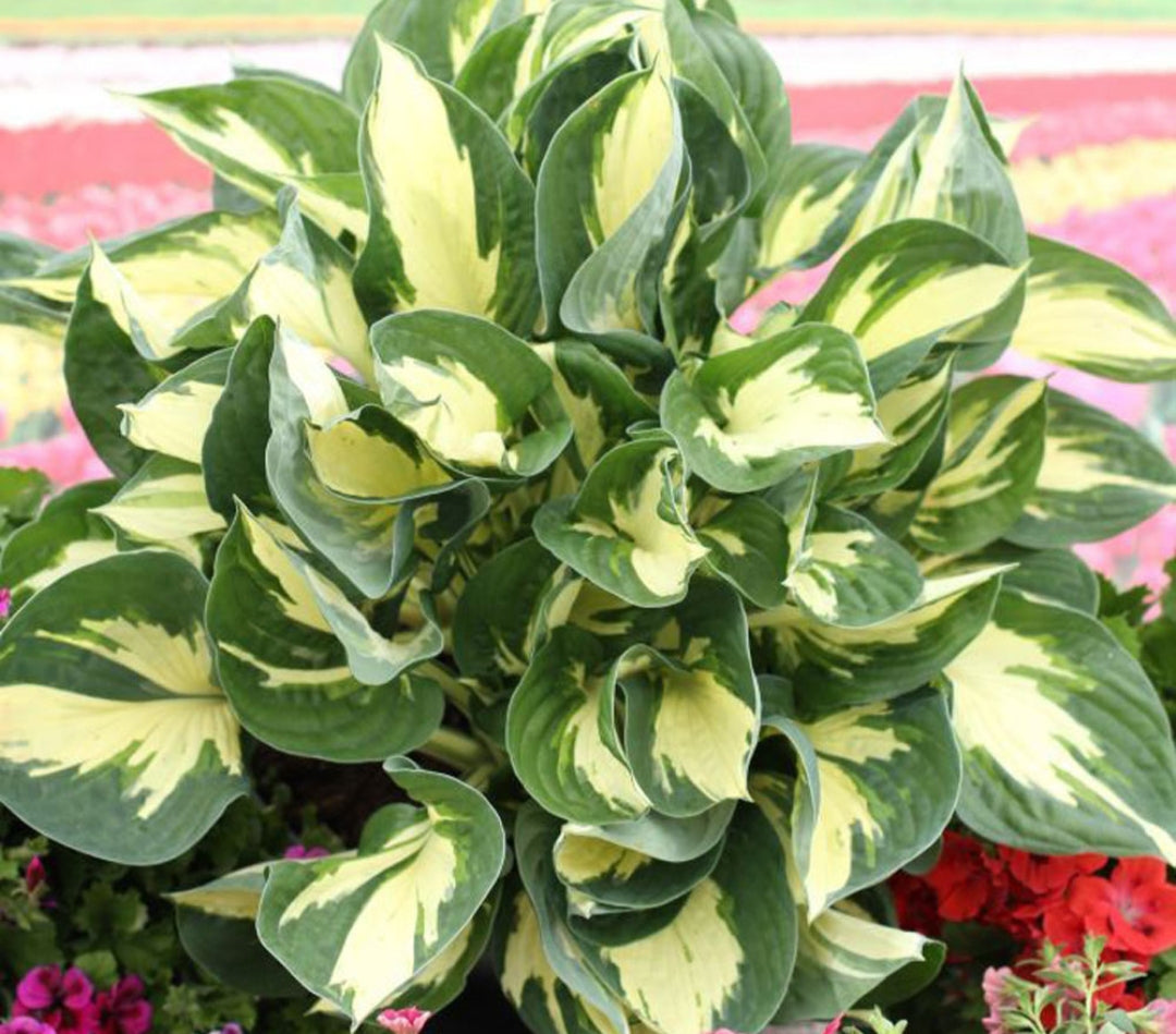 Hosta Colored Hulk (Size - Medium) - 2 Litre Pot