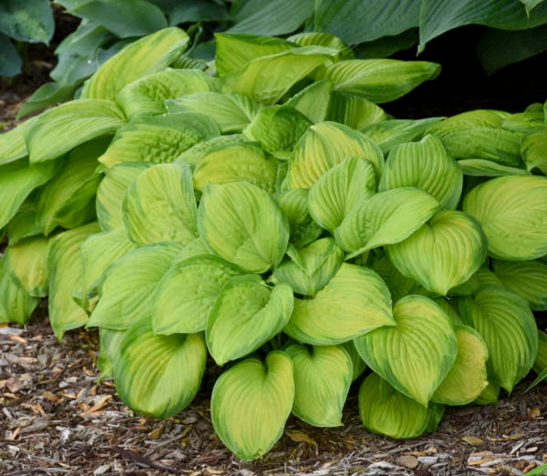 Hosta Stained Glass (Size - Medium) - 2 Litre Pot