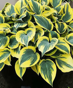 Hosta Ben Vernooy (Size - Medium) - 2 Litre Pot