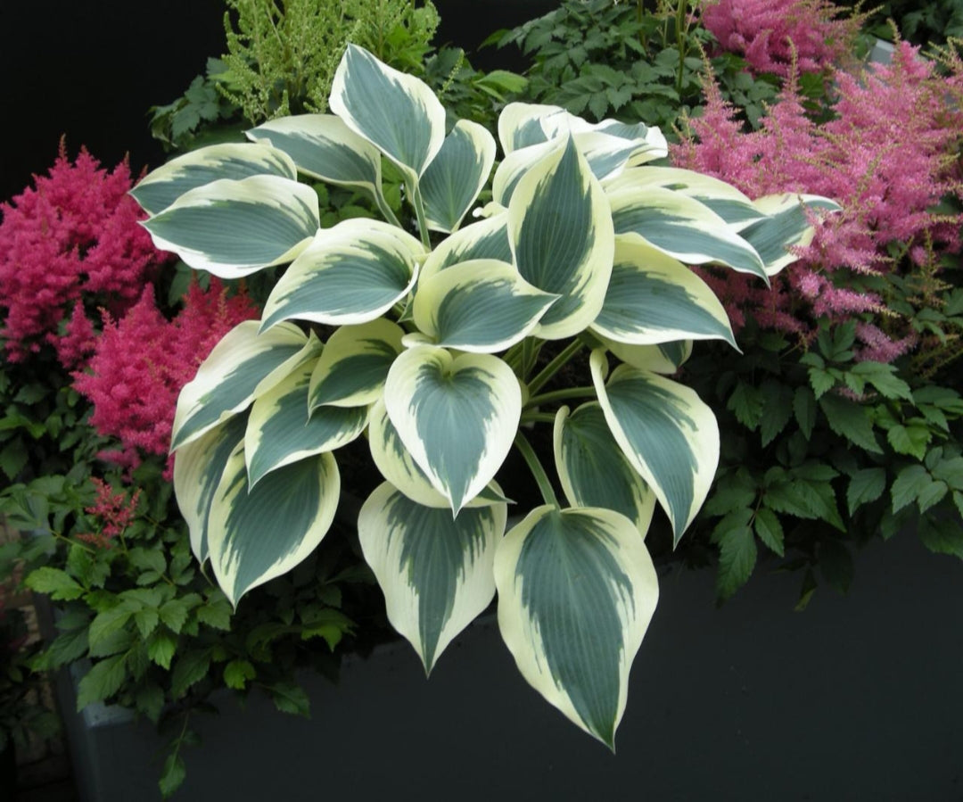 Hosta Blue Ivory (Size - Small) - 2 Litre Pot