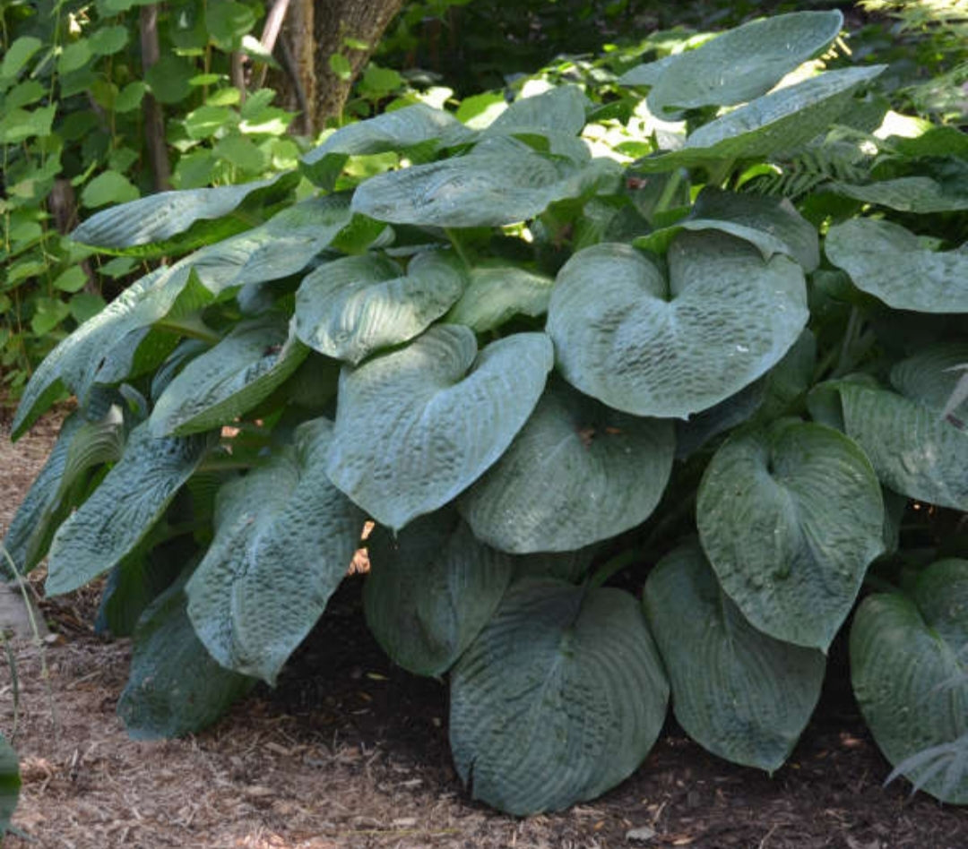 Hosta Elegans (Size - Large) - 2 Litre Pot