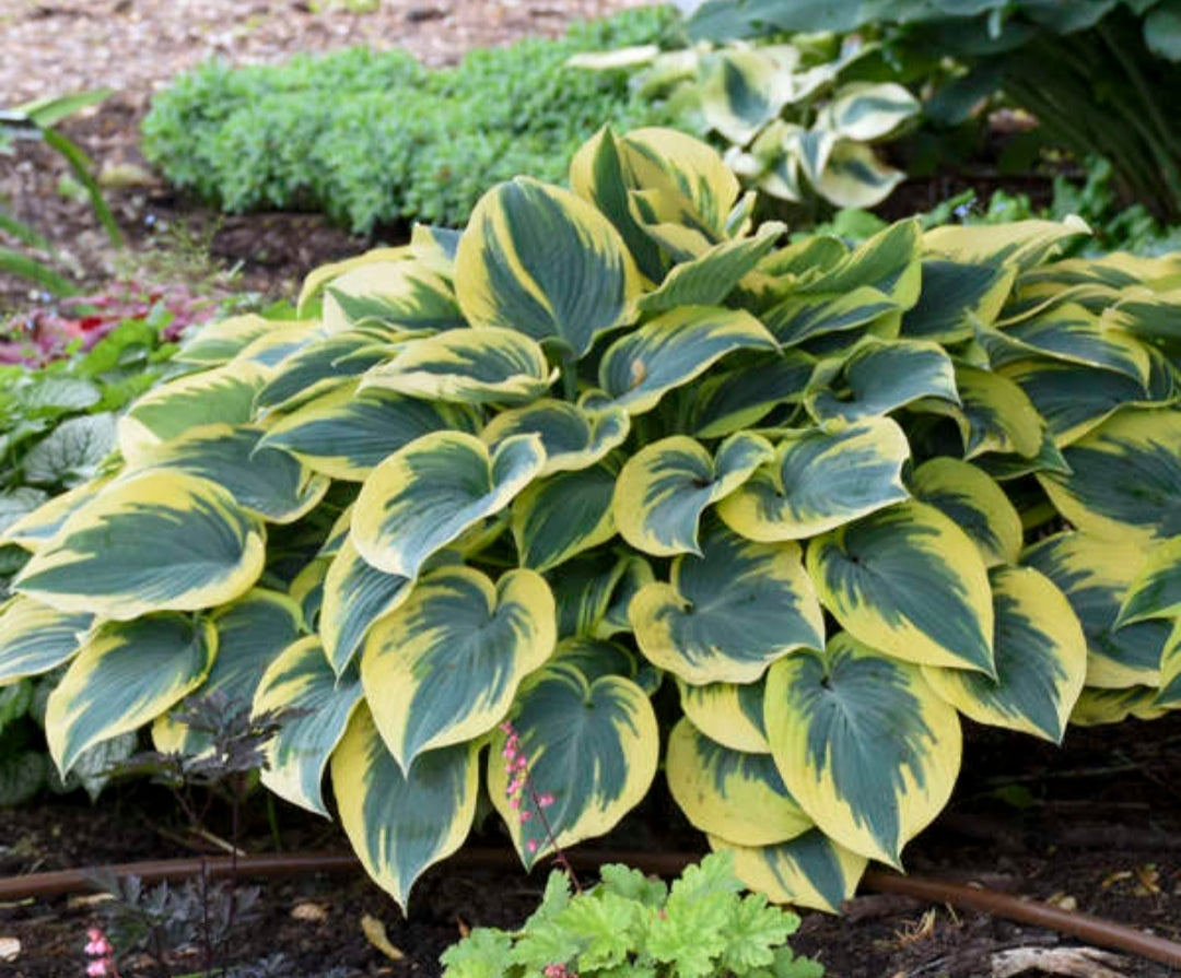 Hosta First Frost (Size - Large) - 2 Litre Pot