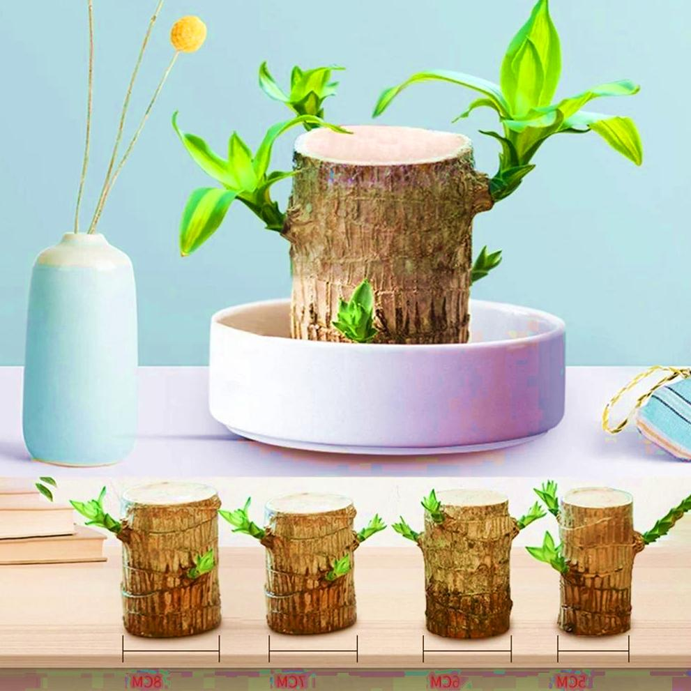 Brazilwood Hydroponic Plants Groot Lucky Wood Potted 🔥 Selling Extremely Fast 🔥