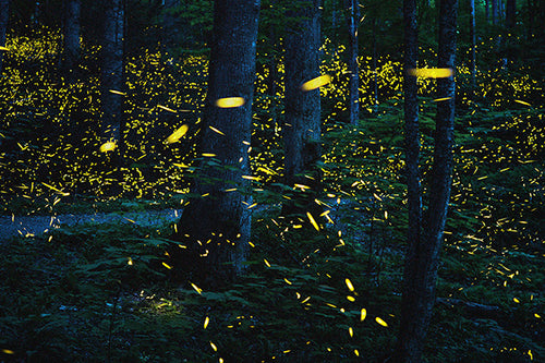 Synchronous Fireflies 190621_8172