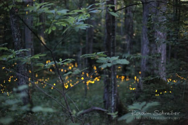Synchronous Fireflies 105744