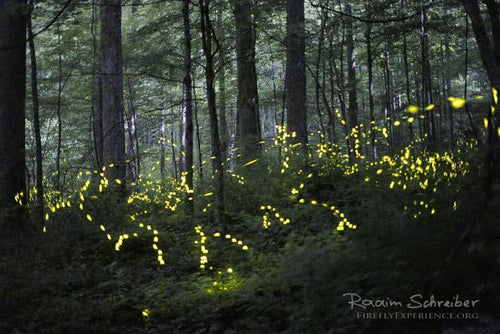 Synchronous Fireflies 106585