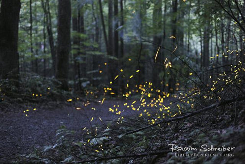 Synchronous Fireflies 106666