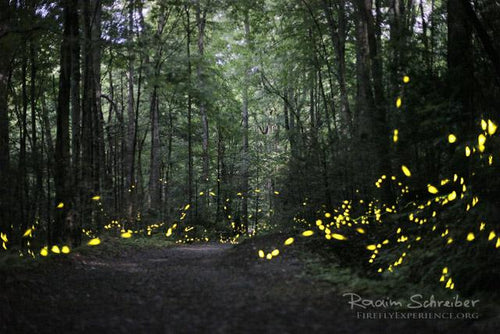 Synchronous Fireflies 106708