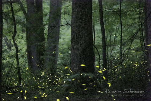 Synchronous Fireflies 106728