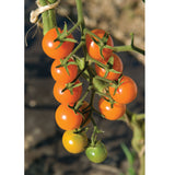 Cherry Tomato (Sungold) Seedling