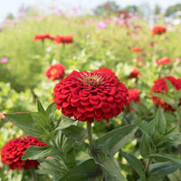 Zinnia (Benary's Scarlet) - Seedlings