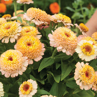 Zinnia (Zinderella Peach) - Seedlings