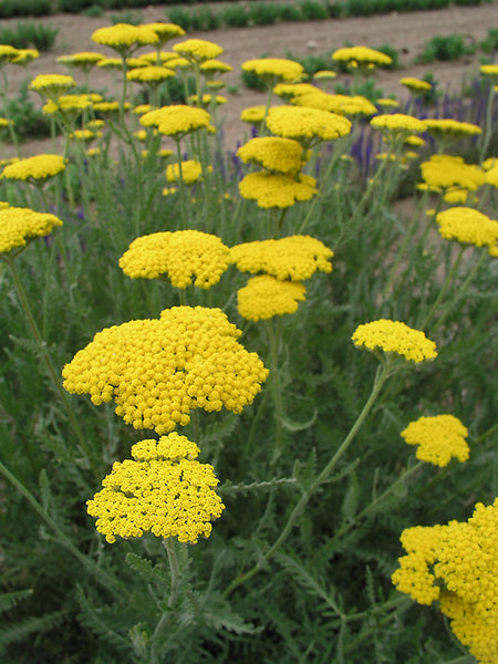 Yarrow (Gold) Seedling