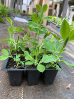 Sweet Pea Flower (Royal Mix) Seedlings