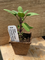 Sage (Grower's Friend) Seedling