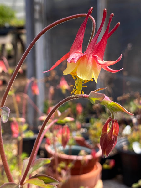 Aquilegia canadensis  (Eastern Red Columbine) - Plant