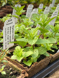 Mint (Spearmint) Seedling