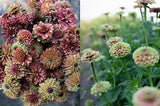 Zinnia (Queen Lime with Blush) - Seedlings