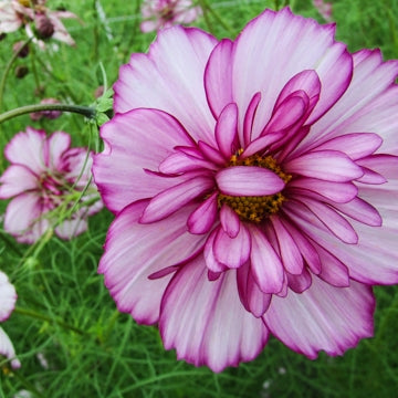 Cosmos (Double Take) - Seedlings