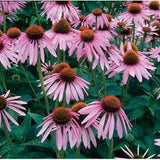Echinacea purpurea (Purple Coneflower) Seedling