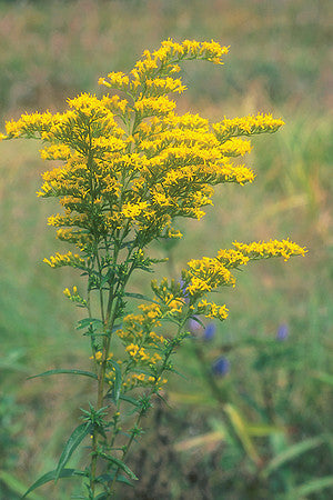 Goldenrod (Sweet) - Plant