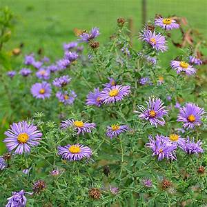 Symphyotrichum novae-angliae (New England Aster) - Seedling