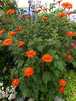 Tithonia (Mexican Sunflower) - Seedling